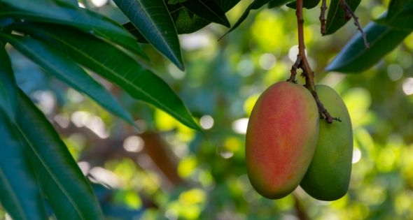 Cómo trabajar en la campaña de mango (iStock)
