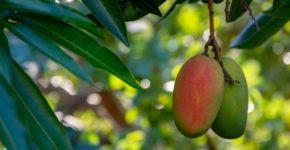Trabajar en campaña de mango en Trops (iStock)