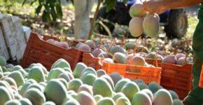El mango es una fruta que cuenta con numerosas propiedades (iStock)