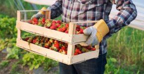 Se buscan trabajadores para la temporada de la fresa en Huelva (iStock)